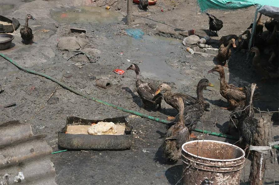 काठमाडौंको तारकेश्वरमा पालिएका पन्छीमा बर्ड फ्लुको संक्रमण